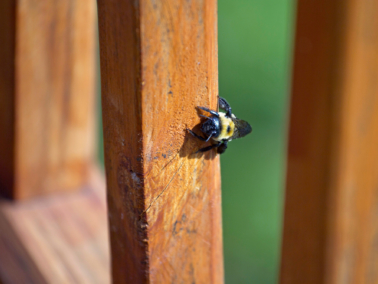 Bee resting on a deck post.